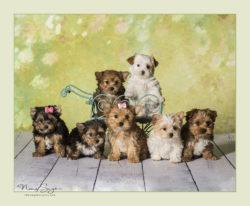 Yorkie Puppies are available | Sport Yorkies