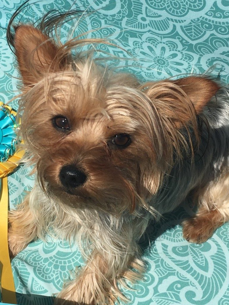 Sport Yorkies | Agility Training for Yorkshire Terriers