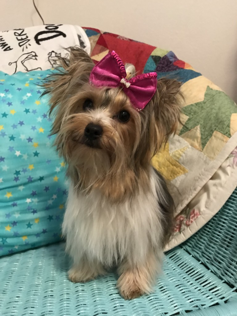 Yorkie Puppies Are Available Sport Yorkies